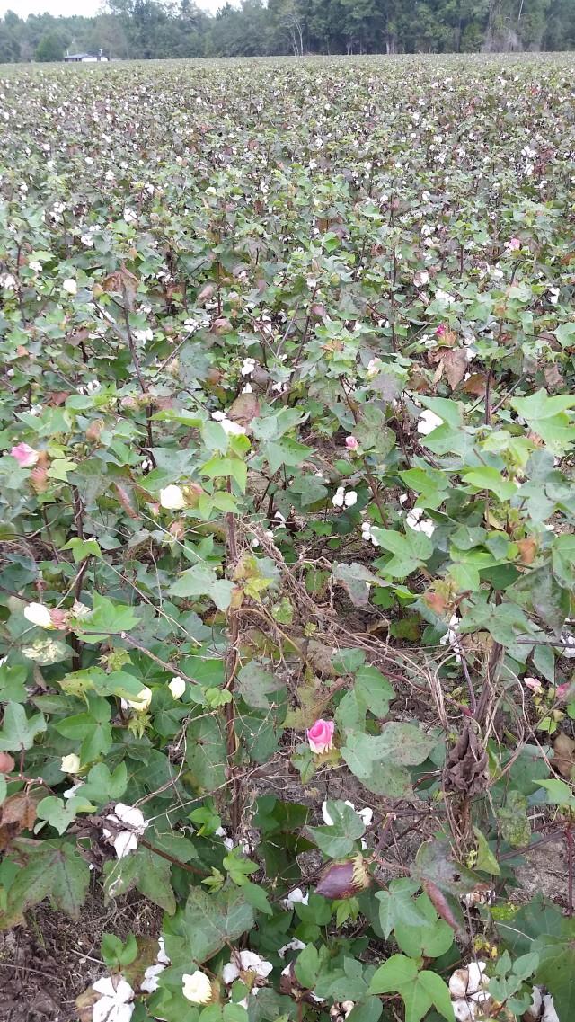 ecg-cotton-field