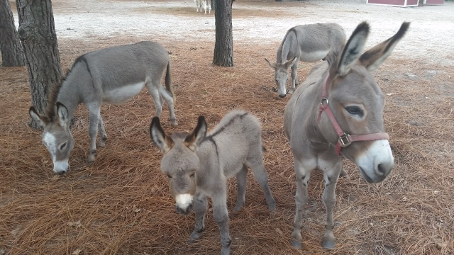 ecg-mini-donkeys