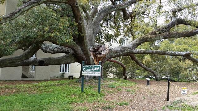 friendship oak.jpg